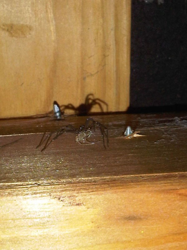 Brown Recluse Spider with Silverfish