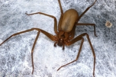Brown Recluse Spider on Webbing/Eggsac