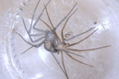 Brown Recluse Spider Molting, They Shed